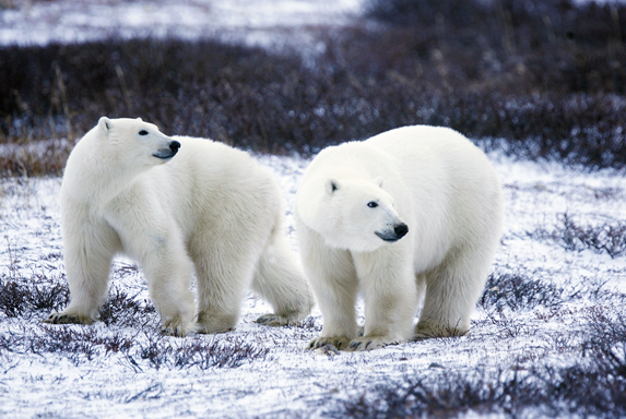 """Polar Bear Pair"" by Gary Kramer licensed under CC BY 2.0"